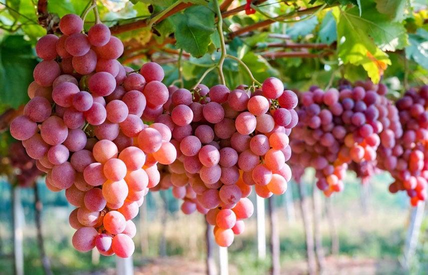 условия выращивания садового винограда