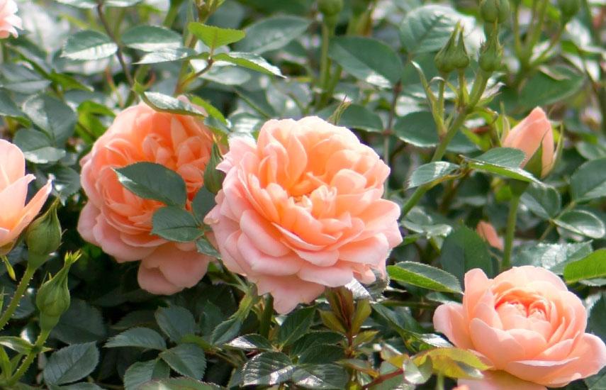 что нужно для подкормки роз весной
