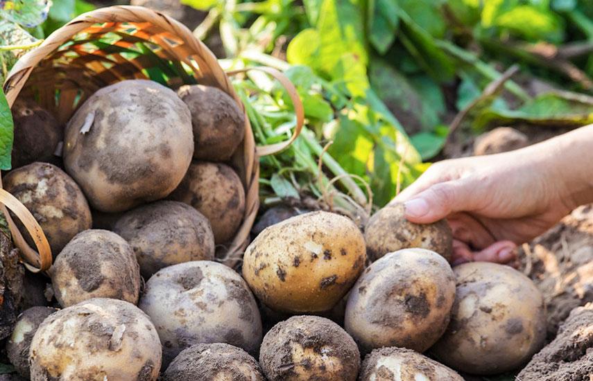 Дезинфекция семенного картофеля перед посадкой