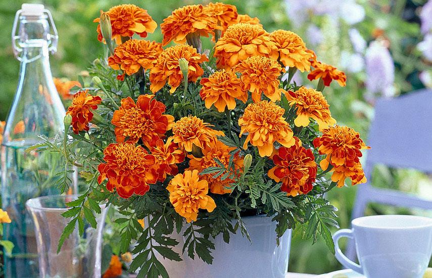 растения которые цветут все лето бархатцы