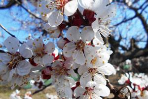 Абрикос цветет, но не плодоносит