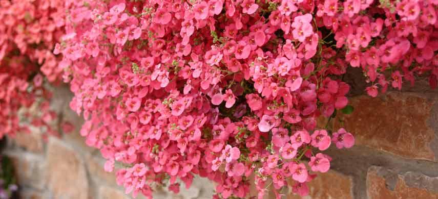 ампельные растения для сада фото 7