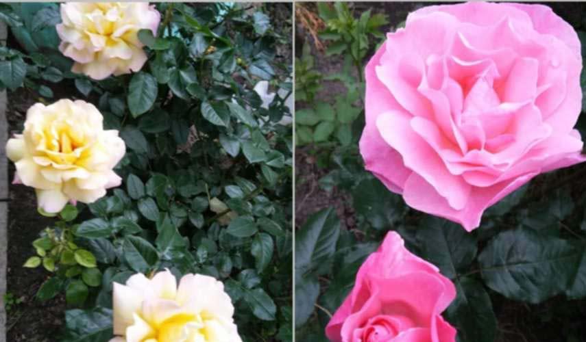 Цветы Алеси Парфенович фото 4