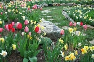 Что посадить с нарциссами и тюльпанами