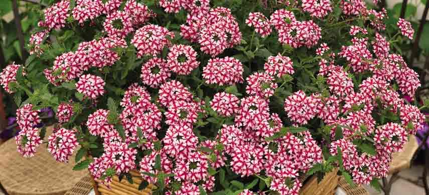 ампельные растения для сада фото 6