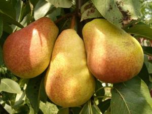 Как посадить груши осенью фото № 1