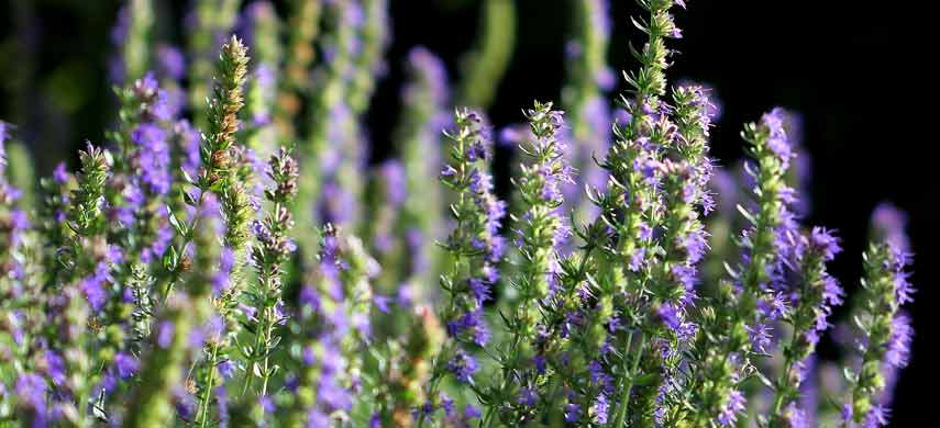 ароматные травы для сада фото 5