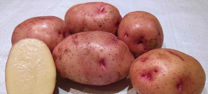 описание, фото и характеристика ранних сортов картофеля фото 2