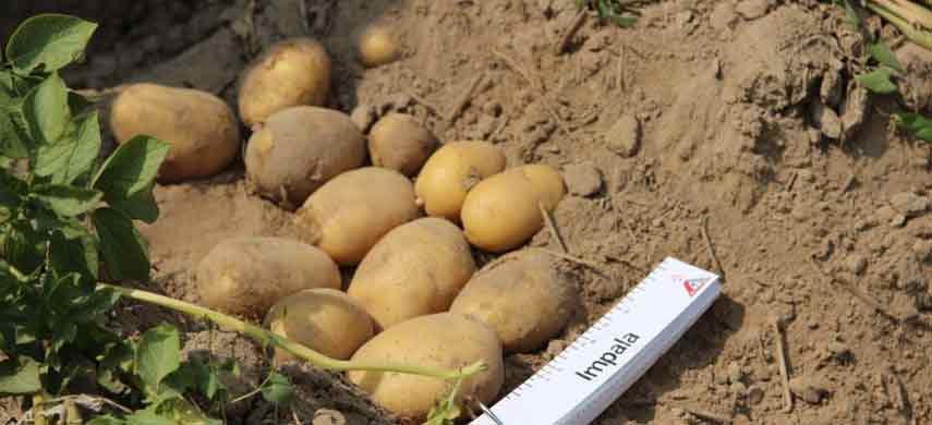 описание, фото и характеристика ранних сортов картофеля фото 3