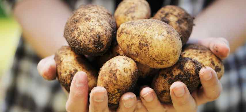 описание, фото и характеристика ранних сортов картофеля фото 7