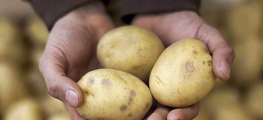 описание, фото и характеристика ранних сортов картофеля фото 10