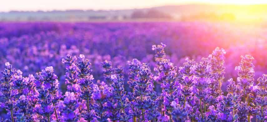ароматные травы для сада фото 6