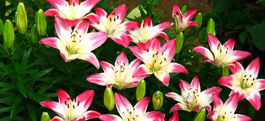 фото азиатских лилий с названиями и описаниями фото 3