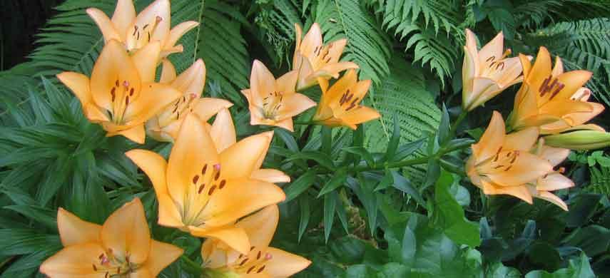 фото азиатских лилий с названиями и описаниями фото 11