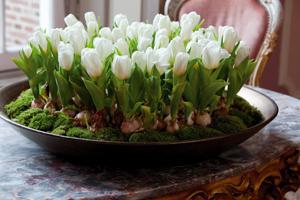 выгонка тюльпанов к новому году