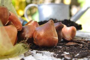 обработка луковиц тюльпанов