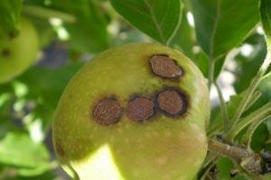 Болезни и вредители яблони фото 2