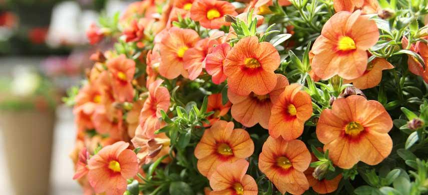 ампельные растения для сада фото 2