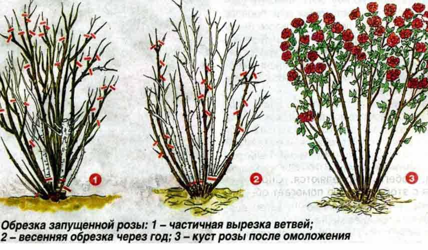 Как обрезать плетистую розу