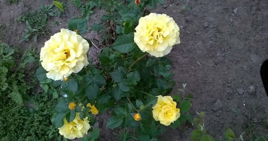 Цветы Алеси Парфенович фото 5