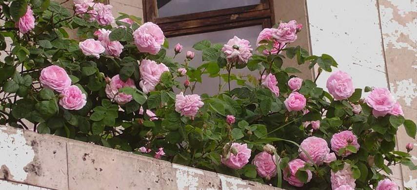 как выращивать розы в контейнерах