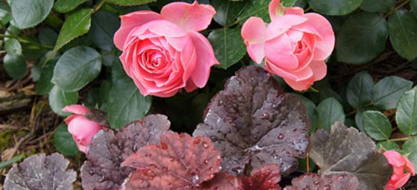 розы и гейхеры
