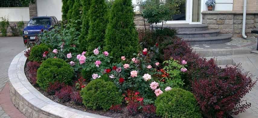 розы и хвойные растения