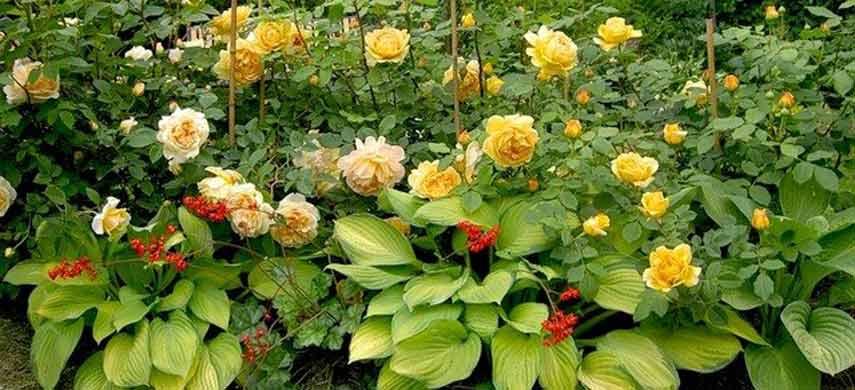 розы и хосты