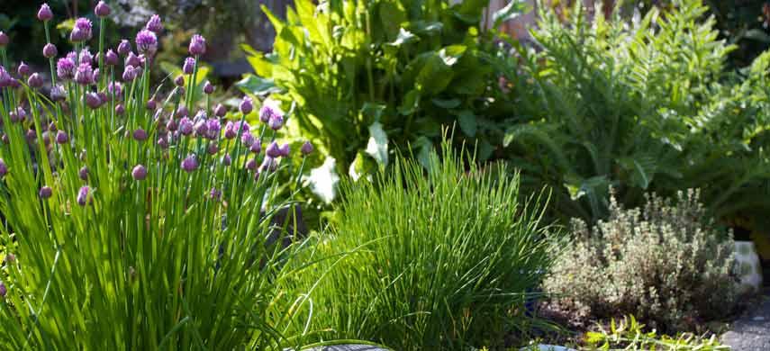 ароматные травы для сада фото 1