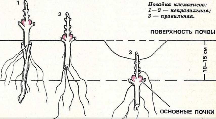 схема посадки для клематиса
