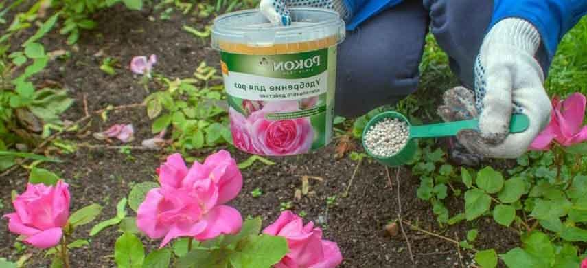 Как и чем удобрять розы, чтобы долго цвели и не болели2