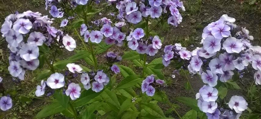 Цветы Алеси Парфенович