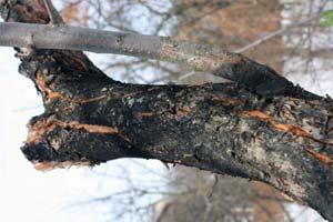 Болезни и вредители яблони фото 4