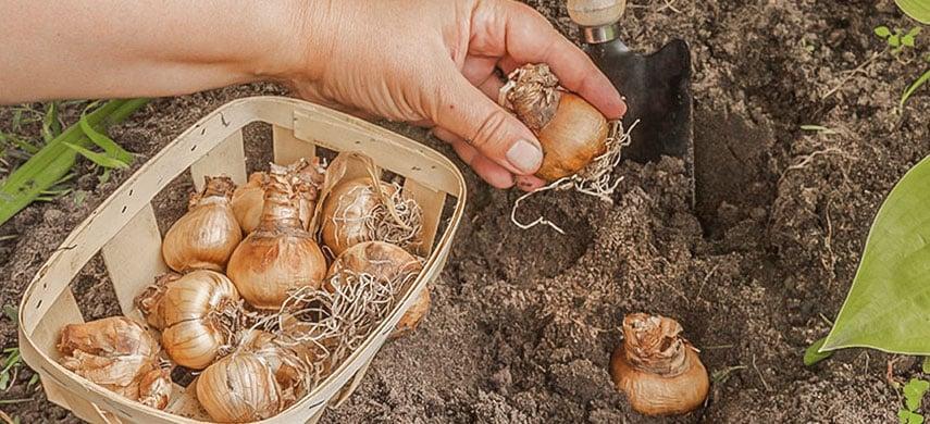 посадка луковиц