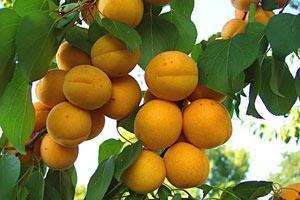 когда плодоносит абрикос