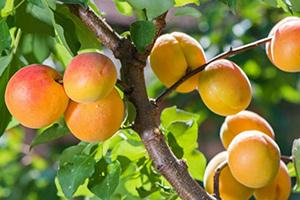 чем подкормить абрикос