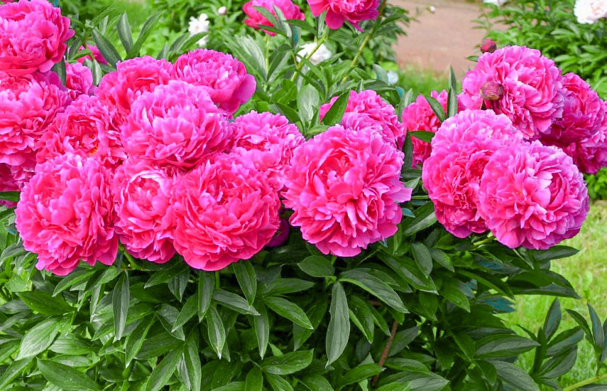 Цветы многолетники для «ленивого» сада, которые цветут круглый год №2