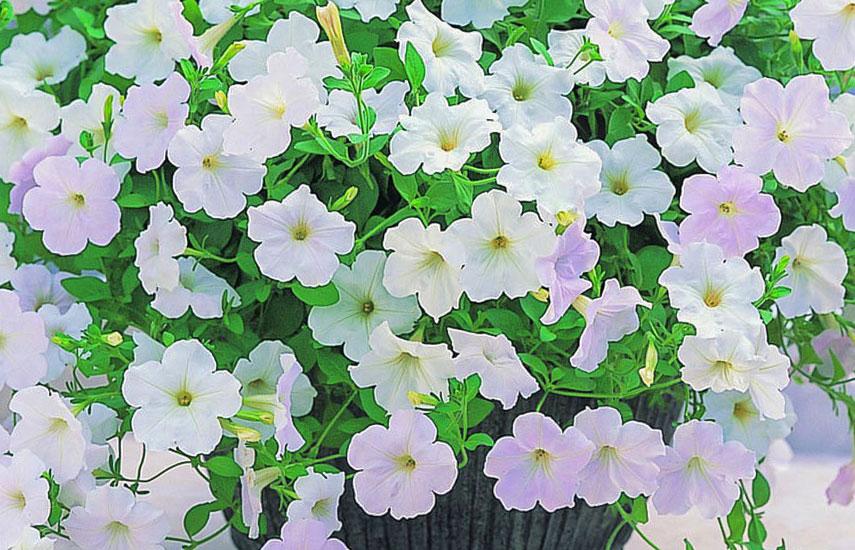 Виды петуний – красивые сорта для кашпо и вертикального озеленения №1