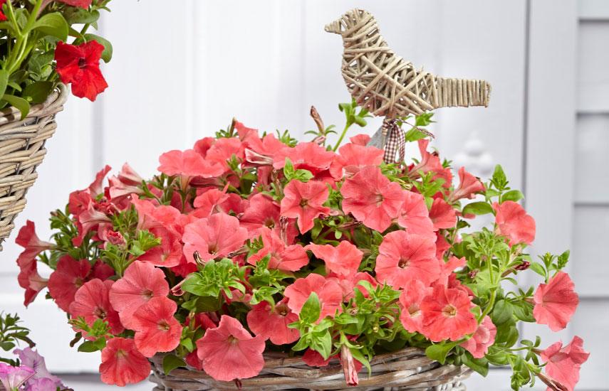 Виды петуний – красивые сорта для кашпо и вертикального озеленения №2
