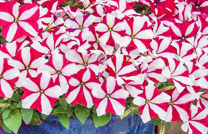 Виды петуний – красивые сорта для кашпо и вертикального озеленения №3