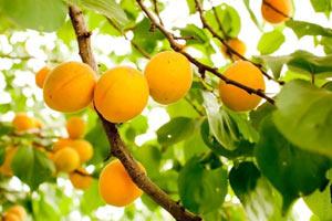 когда плодоносит абрикос из косточки