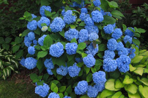 красим гортензию в синий