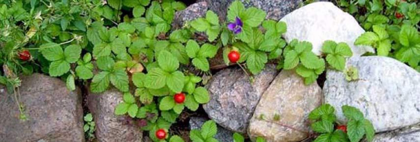 ягодные ручейки