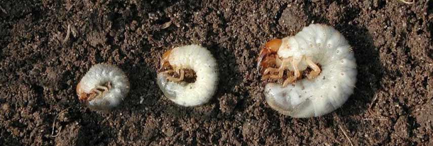 личинки жука