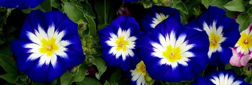 Вьюнок трехцветный Голубой
