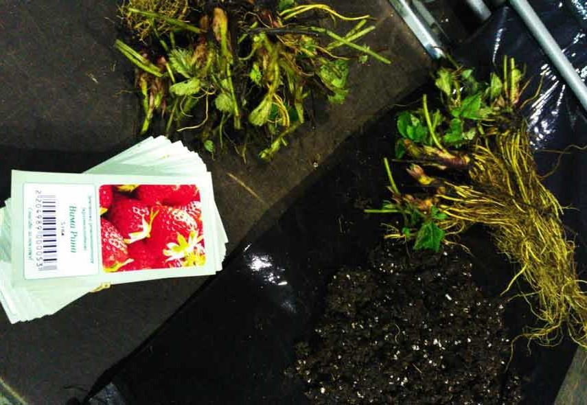 Упаковка рассады фриго в Беккер фото 3