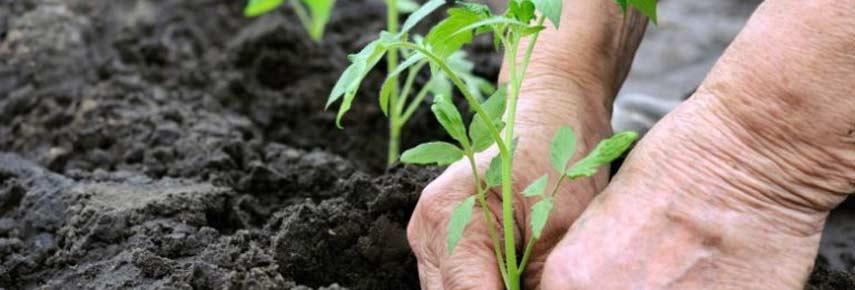 Пересаживаем рассаду в теплицу