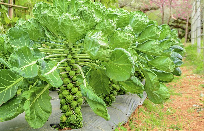 посев брюссельской капусты