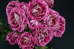 купить розы флорибунда в казахстане