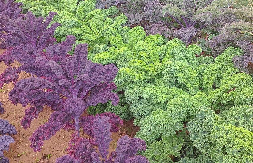 как ухаживать за листовой капустой